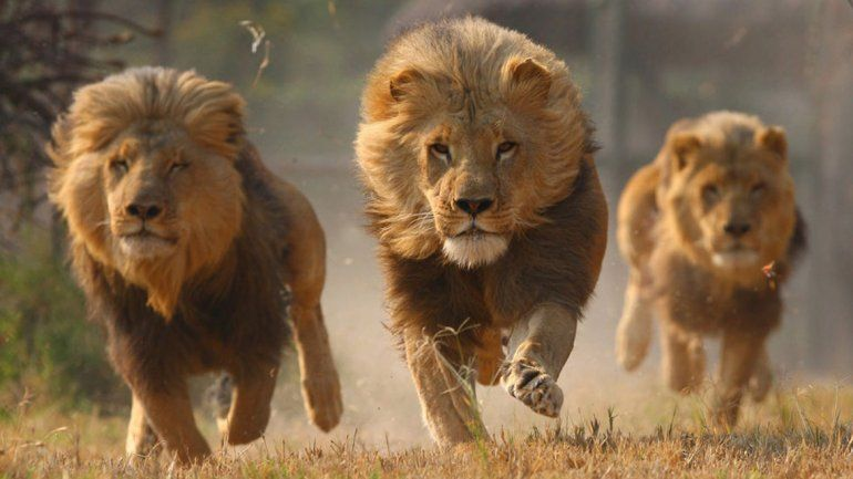Un cazador fue atacado por un elefante y devorado por una manada de leones