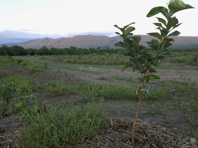 Plantaciones nuevas limón