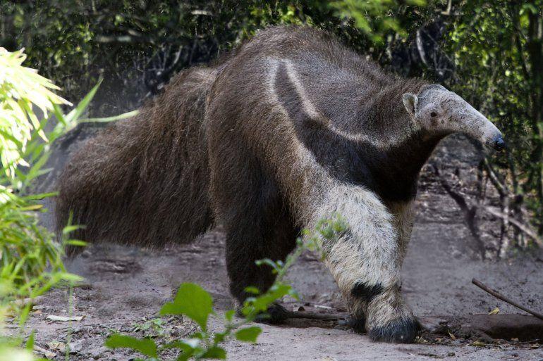 Los animales con peligro de extinción en Jujuy y todo el NOA