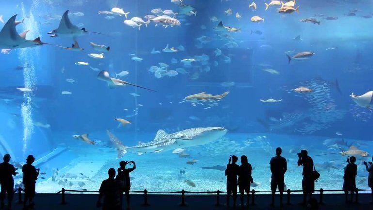 Todos los tiburones martillo del acuario Nausicaa han muerto