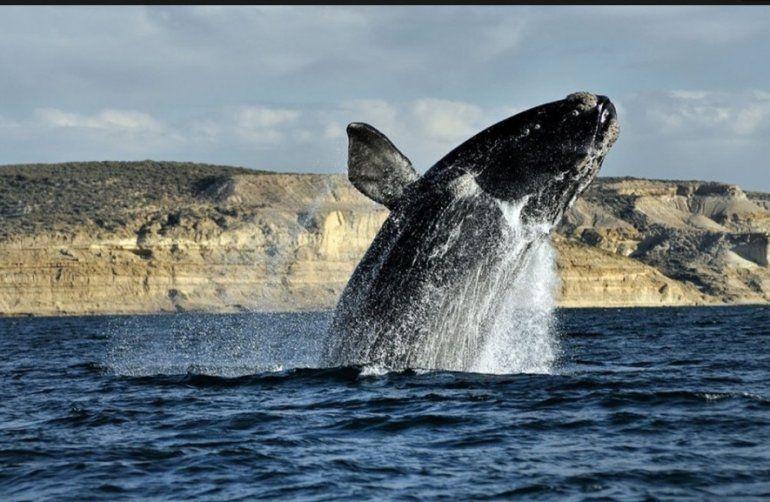 Una ballena franca austral en Península Valdés