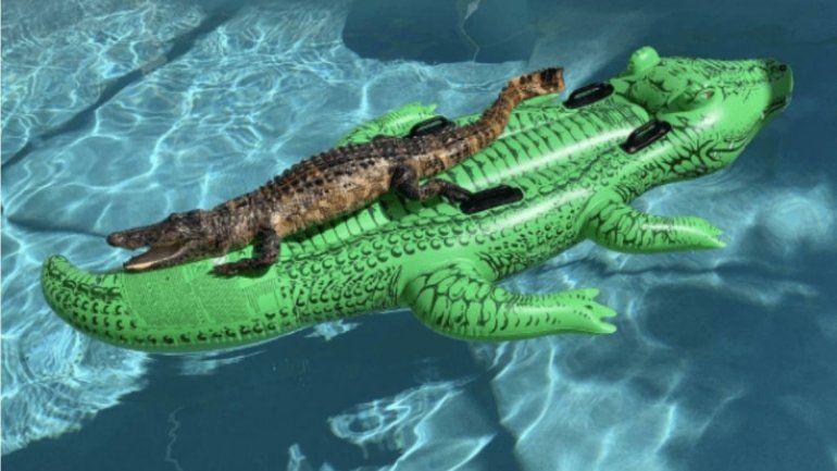 La viral del momento: un cocodrilo tomando sol en un flotador con forma de cocodrilo