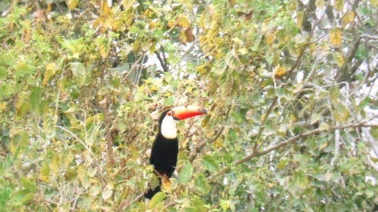 Tucanes invaden el patio de una casa en Bajo La Viña