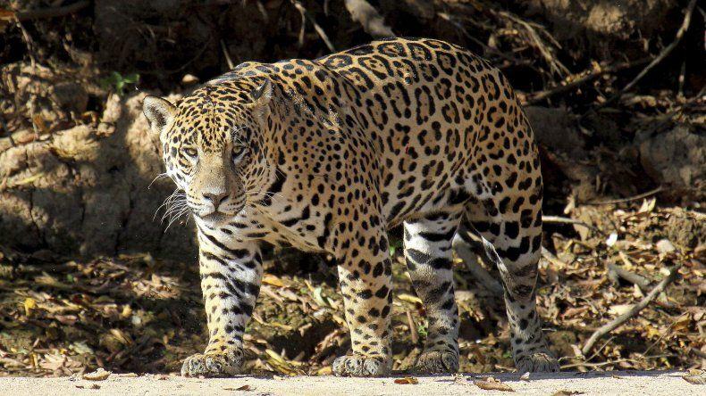 Greenpeace denunciará a 4 provincias por no proteger el territorio del yaguareté