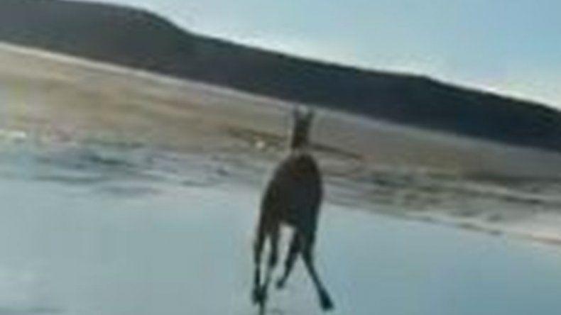 Se filmaron atropellando a un guanaco y soltaron dos perros para que se lo coman