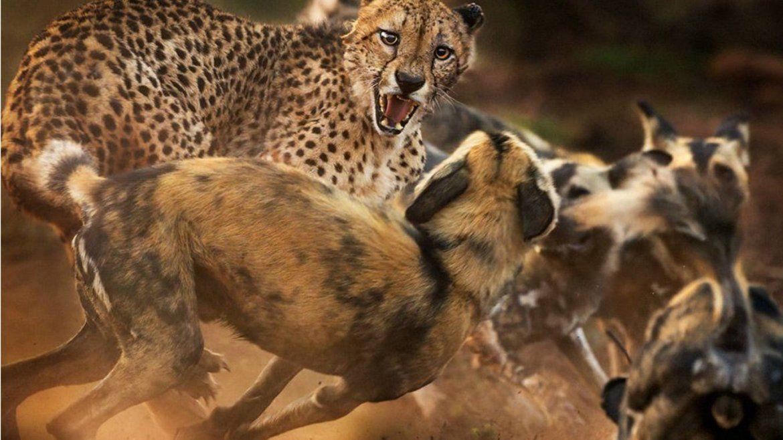 Perros salvajes africanos atacan a un guepardo solitario. El animal logró escapar con vida.