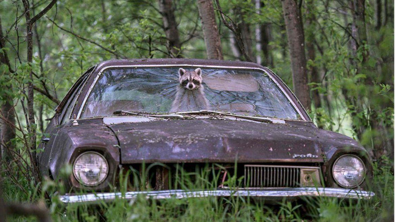 Un mapache saca la cabeza por el parabrisas de un Ford Pinto abandonado. Ocurrió en Saskatchewan