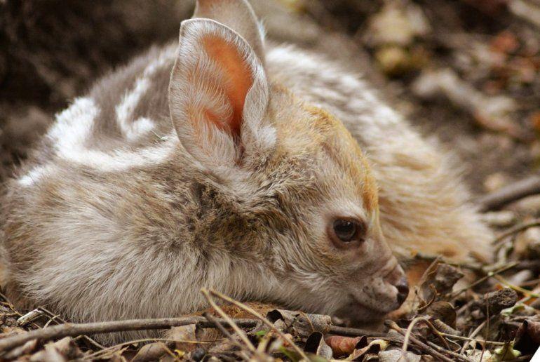 ¡Pura ternura! Nació una corzuela parda en el Parque Botánico Municipal