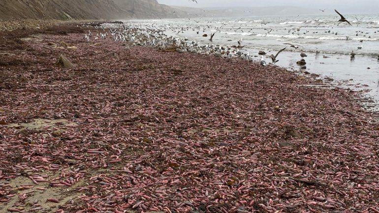 Millones de peces pene encallaron en una playa