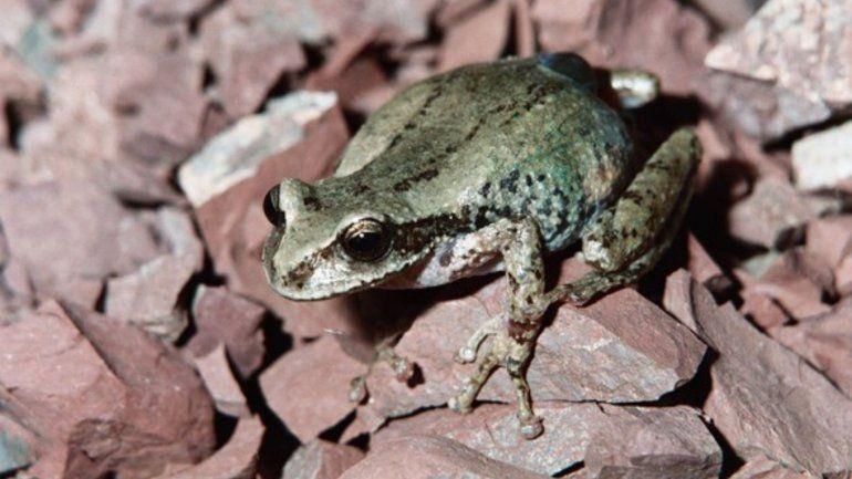 Una extraña rana jujeña está entre las más buscadas del mundo