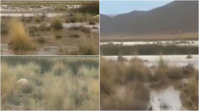 Abra Pampa: murieron más de 140 corderos de una familia por la lluvia