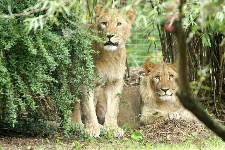 Coronavirus: un zoo evalúa alimentar a algunos animales con otros