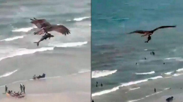 Un águila cazó a un tiburón en una playa y el video se hizo viral