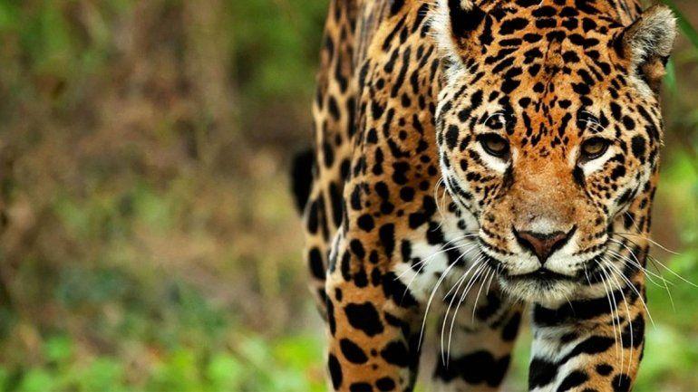 Yaguareté: creen que quedan 200 ejemplares en Jujuy y Salta
